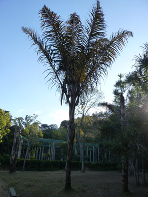 Le raphia farinifera - ART DE MADAGASCAR